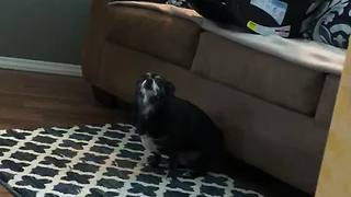 Booty-shaking chihuahua has an itch she can't scratch