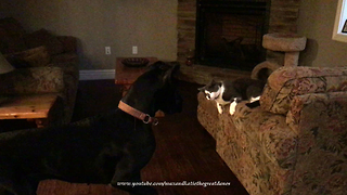 Great Dane bounces and pounces with new cat friend