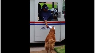 Golden Retriever Waits For Mail Truck To Deliver Mail - Video