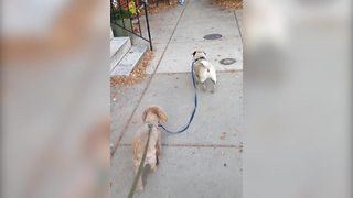 """""""A Dog Walks Another Dog on A Leash"""""""