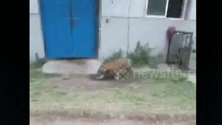 Zookeepers wrestle with escaped tiger cub - Video