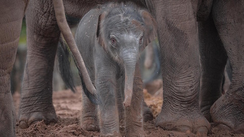 Asian Elephant Herd Welcomes Rare Newborn: ZooBorns