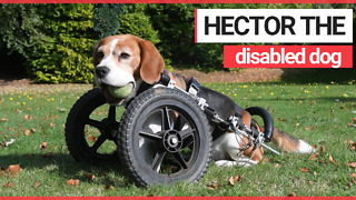 Disabled dog born with three legs is given wheel chair