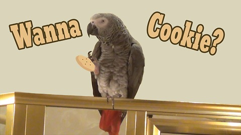 Einstein the Parrot wants a cookie