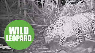 Mother leopard was reunited with her three cubs after they were found abandoned - Video