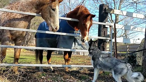 Horses share incredible friendship with Siberian Husky