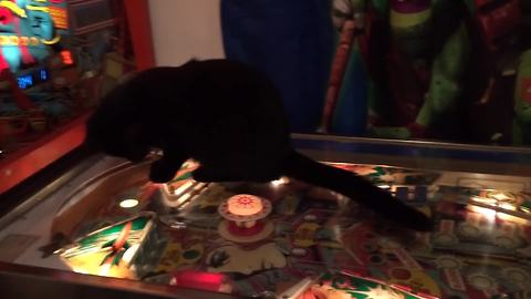 Funny Cat Loves Pinball