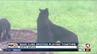 Bear cubs spotted playing in Naples