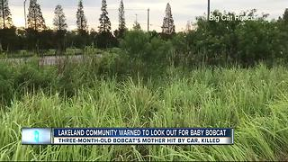 Trappers looking for orphaned bobcat in Lakeland - Video