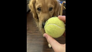 Happy Golden plays with his tennis balls
