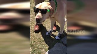 Cool dog shows off style on a university campus - Video