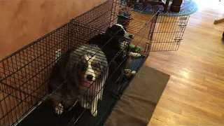 Dogs Put Themselves Behind Bars After Sitter Finds Ripped Bed - Video