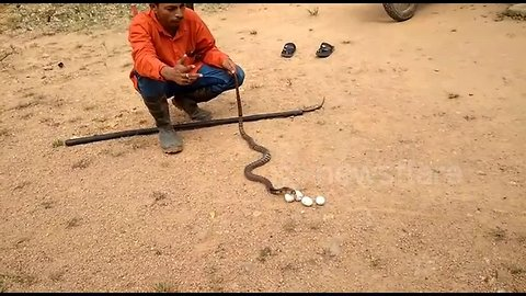 Greedy cobra spits out four eggs after falling sick