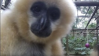 Curious Gibbons Attracted to the Camera - Video