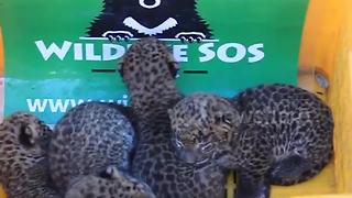 Four lost leopard cubs are reunited with mother