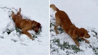 Winter-loving pup makes snow angels in the snow