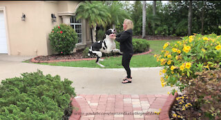 Excited Bouncing Great Danes Can't Wait To Greet Mom