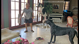 Great Dane thinks new bed is a trampoline