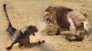 Lion vs Leopard - a fight to the death