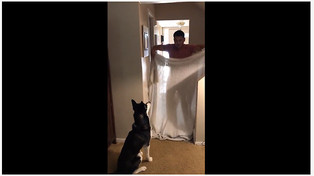 Husky has mind blown by magic trick - Video