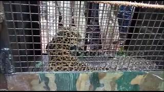 Snarling wild leopard rescued from welll - Video