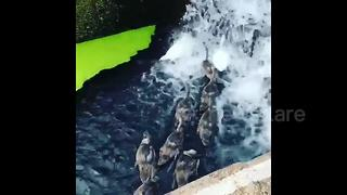 Swans in London cool down amid scorching temperatures - Video
