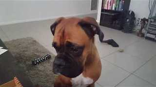 Boxer Dog Subtly Hints She'd Like to Eat Pizza - Video