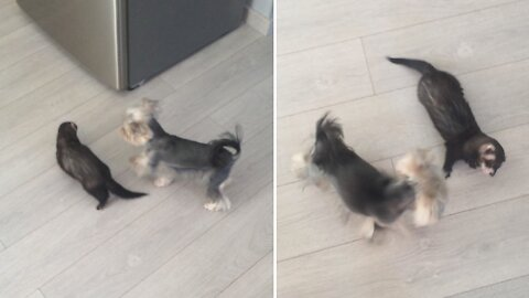 Brave Yorkie tries to fight the fearless Ferret