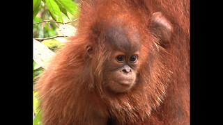 Sumatran Orangutan Home Under Threat - Video