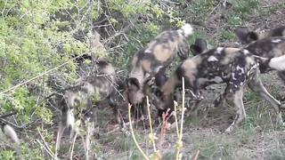 Wild dogs hunting impala - Video