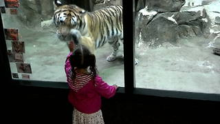 A Tiger Wants To Play With A Tot Girl At A Zoo - Video