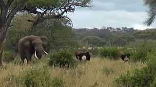 Elephant Fed Up With Ostriches Fight, Breaks Them Up - Video