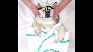 Husky Gets Rewarded With A Massage After A 'Ruff' Week  - Video