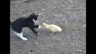 Funny duck playing with cat