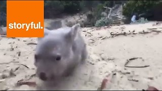 Orphaned Baby Wombat Derrick Loving Life on Tasmanian Island - Video