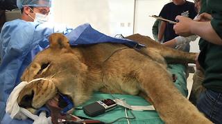 The Big Cat Doctor Performs Life-Saving Surgery: WILDEST ANIMAL RESCUES - Video