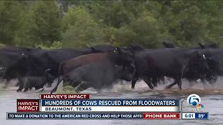 Hundreds of cows rescued from floodwaters