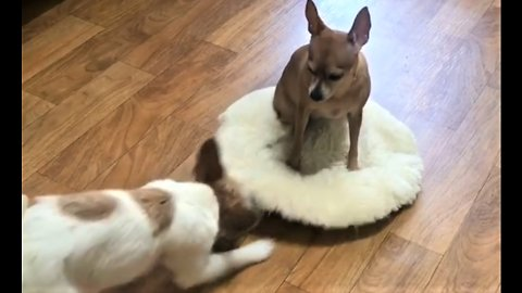 Jack Russell hilariously tries to reclaim bed from Miniature Pinscher