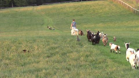 Vast number of farm animals walk in single file line