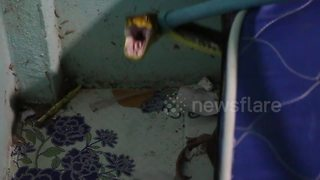 Python found hiding under child's bed after killing family cat - Video