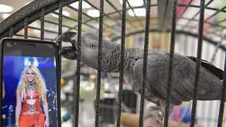 Whenever, wherever – Parrot can't stop dancing to Shakira