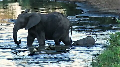 Clumsy elephant baby shows determination to stay close to mother during river crossing.