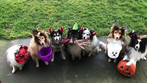 Trick-or-treating dogs ready for Halloween