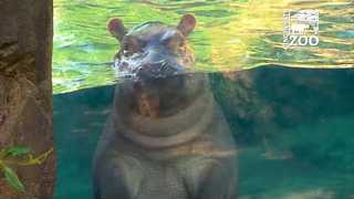 Fiona the Hippo Makes Media Debut in Outdoor Habitat - Video