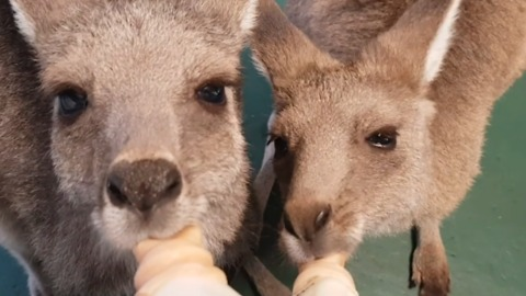 Adorable Orphaned Kangaroos and Wallaby Huddle for Milk Feast