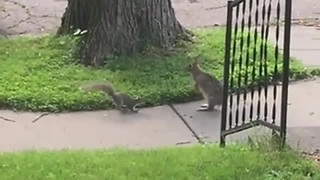 Playful Squirrel Tries To Make Acquaintance With A Wild Rabbit - Video