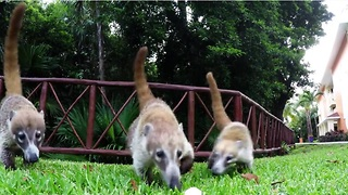 Pregnant coati and her young enjoy tasty treats - Video