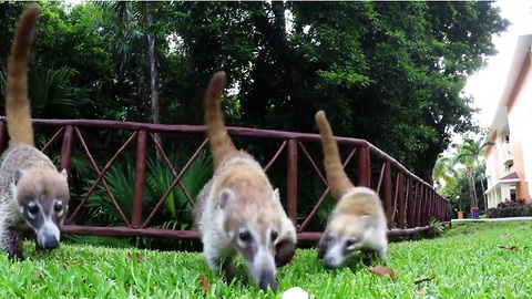 Pregnant coati and her young enjoy tasty treats