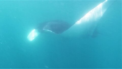 Swimmer has unforgettable face-to-face meeting with 21 foot Giant Manta Ray