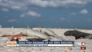 Dead fish washing up on Collier County beaches